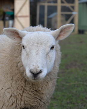 Fields and Farms | Alternative Provision | Margo the sheep
