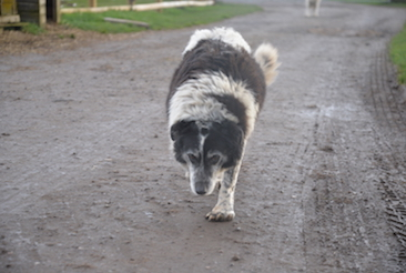 Fields and Farms | Alternative Provision | Mo the sheep dog